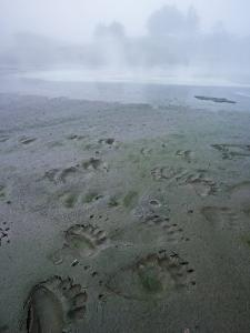 A bird and a brown bear left prints in the mud at a hot spring by Michael Melford
