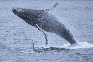 A Breaching Humpback Whale with a Calf in Chatham Straight by Michael Melford