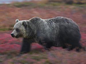 A brown bear hunts for fruit in a blueberry patch by Michael Melford