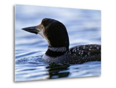 A Common Loon Swims on Little Clear Pond