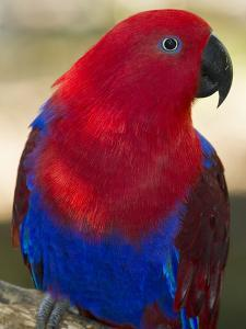 A Female Eclectus Parrot Perches on a Tree Branch by Michael Melford