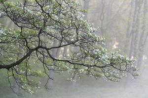 A Flowering Dogwood Tree at Woodlawn, a Tract of Upland Meadows and Woods by Michael Melford