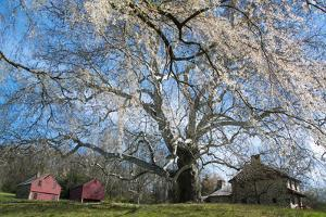 A Giant Sycamore Tree at the Brandywine Battlefield Historic Site by Michael Melford