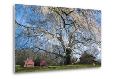 A Giant Sycamore Tree at the Brandywine Battlefield Historic Site
