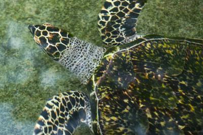 A Hawksbill Sea Turtle Swimming in the Shallow Water Off Palau by Michael Melford
