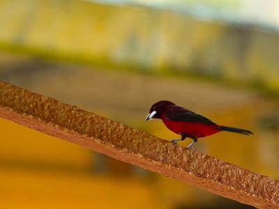 A Male Crimson-Backed Tanager Lights Upon the Ship by Michael Melford