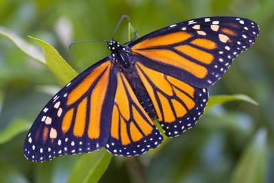 A Monarch Butterfly, Just after Emerging from a Chrysalis by Michael Melford