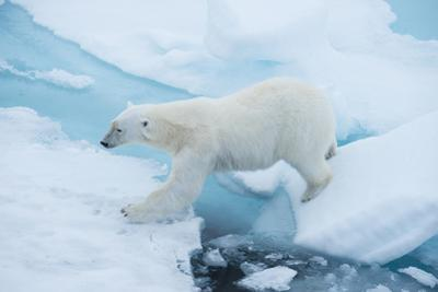 A Polar Bear Steps from One Chunk of Drift Ice to Another by Michael Melford