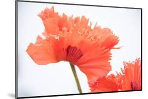 A Poppy Flower by Michael Melford