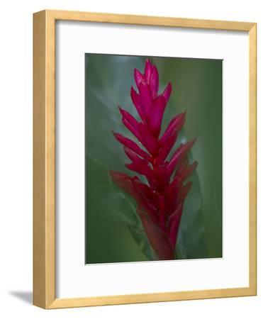 A Red Ginger Plant, Alpinia Purpurata, at Punta Caletas Reserve