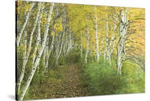 A Sedge-Lined Trail Through a Birch Forest by Michael Melford