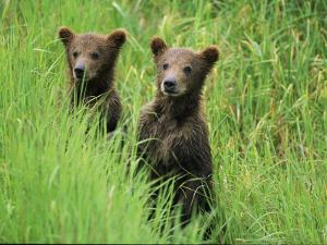 Alaskan Brown Bear Cubs Wait in Long Grass for Their Mother by Michael Melford