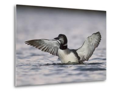 An Adult Loon Spreads its Wings in No Name Lake