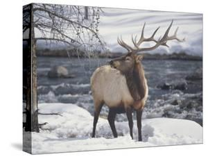 An American Elk, or Wapiti, in the Snow by Michael Melford