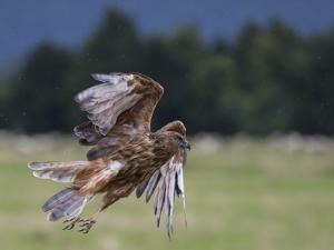 An Australasian Harrier, also known as the Kahu by Michael Melford