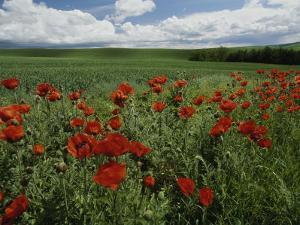 Beautiful Red Poppies Line a Roadside Field Near Moscow, Idaho by Michael Melford