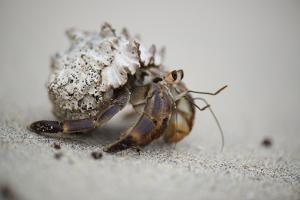 Close Up of a Hermit Crab by Michael Melford