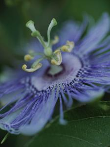 Close View of a Passion Flower on Cumberland Island by Michael Melford