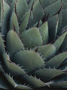 Close View of an Agave Plant by Michael Melford