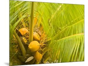 Coconuts Nestled Below the Palms of a Tree by Michael Melford