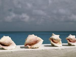 Conch Shells Line a Wall Near the Sea by Michael Melford