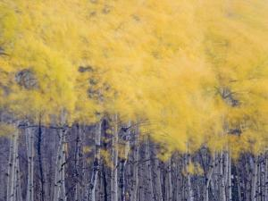 Fall colors of the quaking aspen trees along Lake Sherburne by Michael Melford