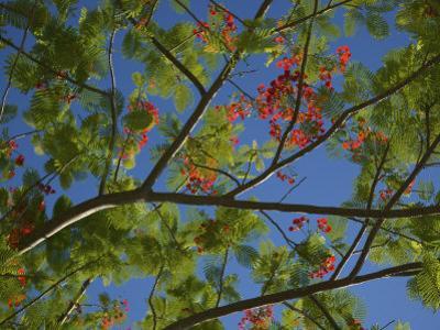 Flowering Tree in Bloom in Jamaica by Michael Melford