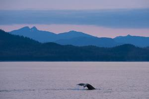 Humpback Whale in Stephens Passage by Michael Melford