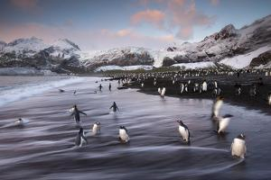 King Penguins Along the Shore at Gold Harbour on South Georgia Island by Michael Melford
