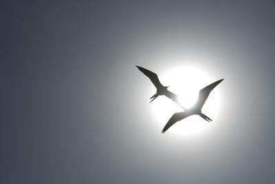 Magnificent Frigatebirds in Flight over Isla Iguana by Michael Melford