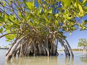 Mangrove Near Calosa Key in Everglades National Park, Florida by Michael Melford