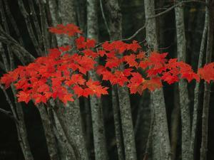 Maple Leaves Blazing with Autumn Color by Michael Melford