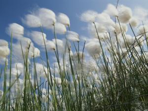 Plant Pods Blowing in the Wind, Yukon Territory by Michael Melford