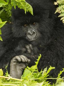 Portrait of a Mountain Gorilla from the Hirwa Group by Michael Melford