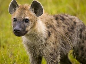 Portrait of a Young Hyena by Michael Melford