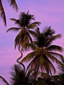 Strangely Curved Palm Tree in Front of a Purple Sunset by Michael Melford