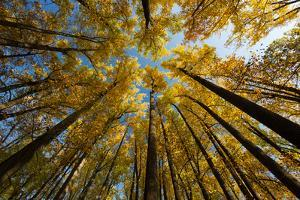 Tulip Poplar Trees at Woodlawn, a Tract of Upland Meadows and Woods by Michael Melford