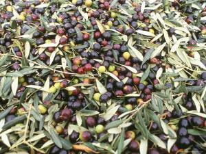Close-Up of Olives Harvested at Frantoio Galantino, Bisceglie, Puglia, Italy by Michael Newton