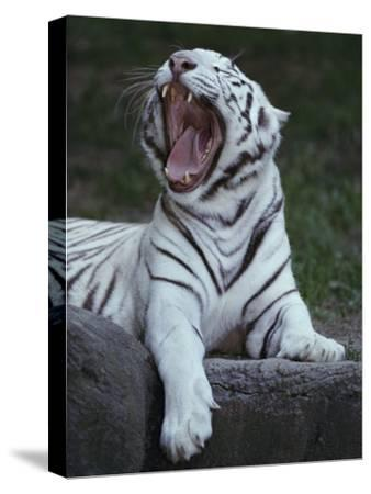 A Captive Siberian Tiger Yawns
