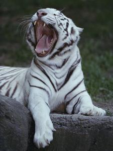 A Captive Siberian Tiger Yawns by Michael Nichols