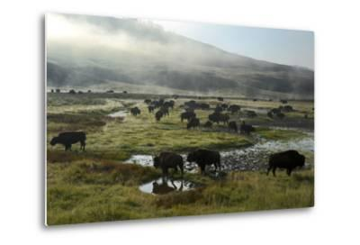 A Herd of Bison in Yellowstone National Park's Hayden Valley