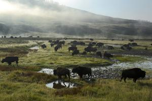 A Herd of Bison in Yellowstone National Park's Hayden Valley by Michael Nichols