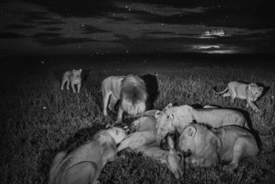 A Lion Pride Feasts on an Eland