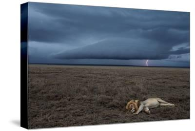 A Male Lion at Rest in the Serengeti Plains During a Lightning Storm
