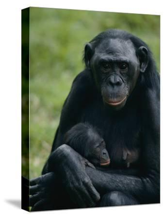 A Mother Bonobo Holds Her Baby at the San Diego Wild Animal Park