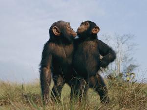 A Pair of Orphan Chimpanzees at the Tchimpounga Sanctuary by Michael Nichols