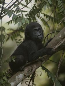 A Portrait of an Orphaned Gorilla Living at a Gorilla Sanctuary by Michael Nichols