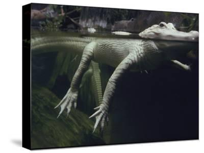 A Rare White Alligator in the Louisiana Swamp Exhibit