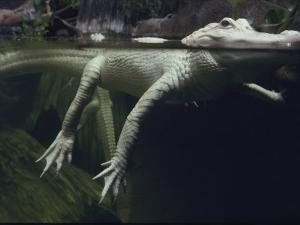 A Rare White Alligator in the Louisiana Swamp Exhibit by Michael Nichols