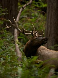 A Roosevelt Elk Bull in an Old Growth Redwood Forest by Michael Nichols